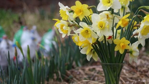 daffodils-021