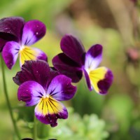 Johnny-Jump-Ups Are Actually Pretty Adorable - Growing Violas