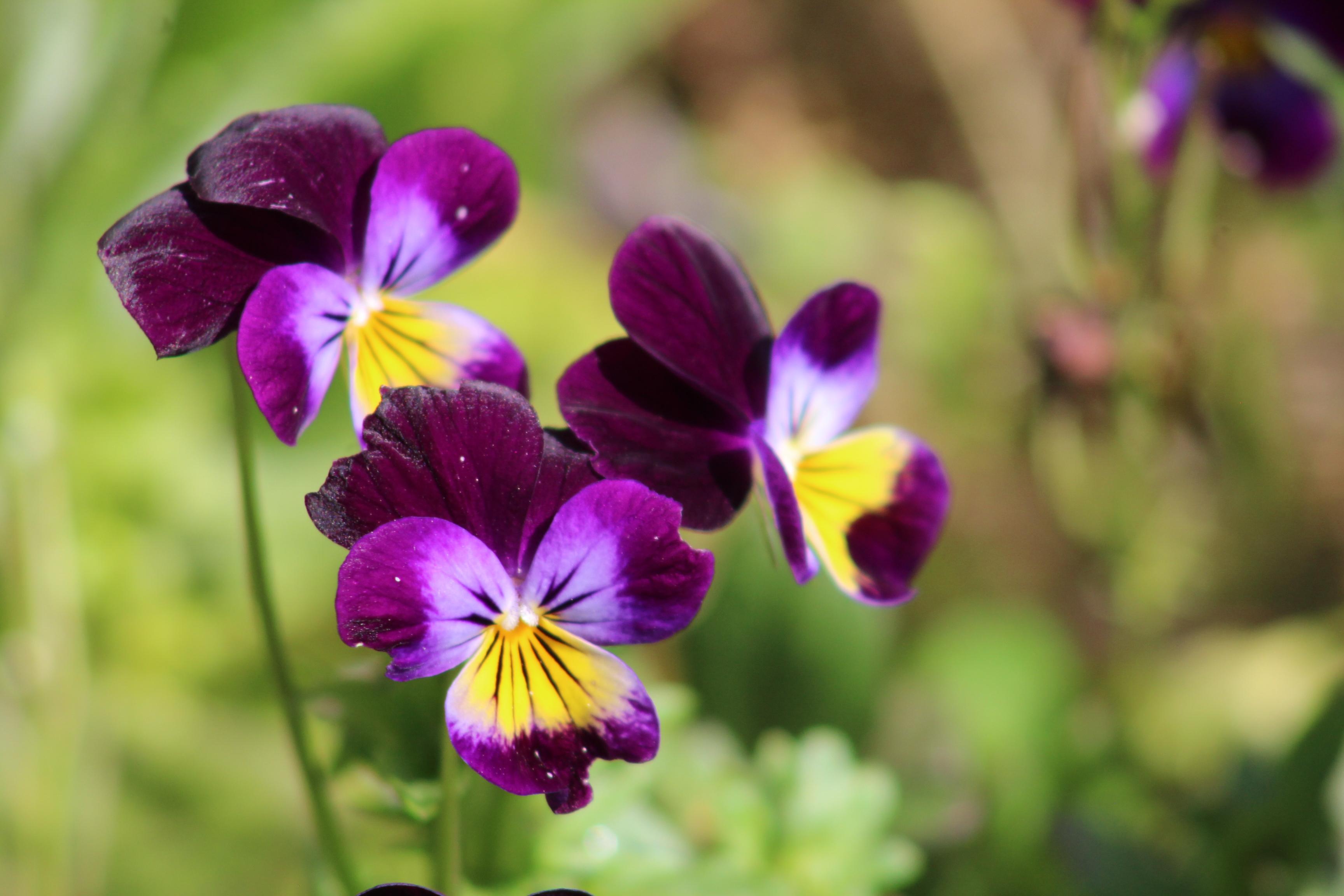 Johnny-Jump-Ups Are Actually Pretty Adorable – Growing Violas