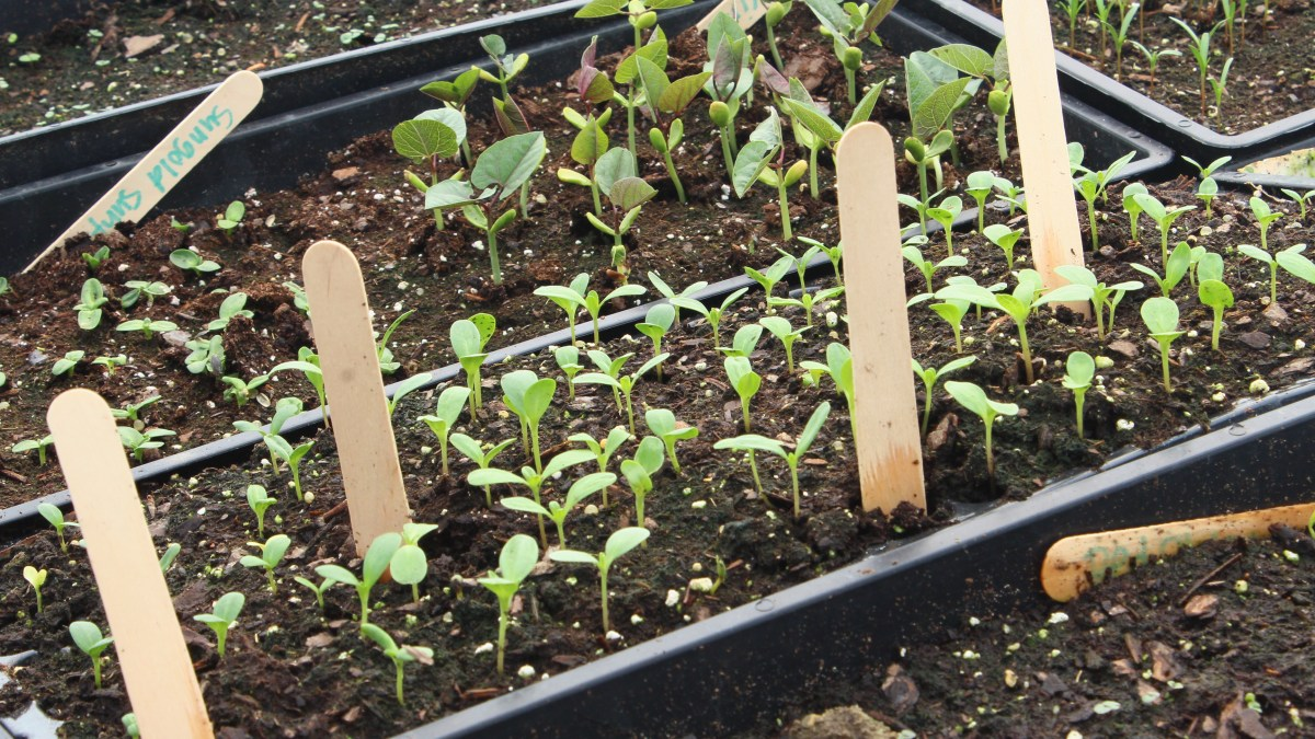 Growing Zinnias from Seed for Cut Flowers - Easy Cut Flower Garden