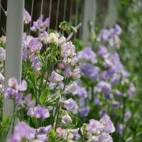 In Bloom: Ornamental Sweet Peas in the Cut Flower Garden