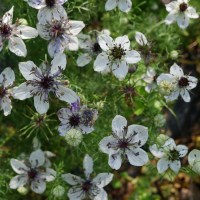 In Bloom: Love-in-a-Mist Nigella - Cut Flower Gardening for Beginners