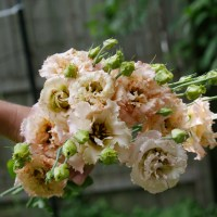 In Bloom: Voyage 2 Light Apricot Lisianthus in the Cut Flower Garden