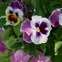 The Last Pansies and Sweet Peas - Cut Flower Garden Arrangement
