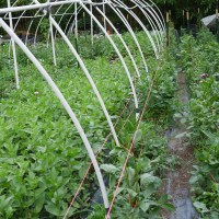 Staking / Trellising Dahlias Using a Weave
