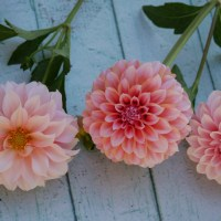 Growing Peaches N Cream Dahlia: Another Stunning Dahlia for Cut Flowers