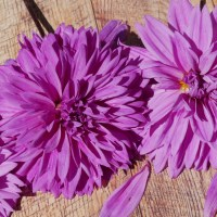 Lilac Time Dahlia: Unique, Vibrant Purple Dahlias