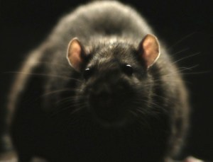 Morgan Spurlock's RATS infests the Discovery channel on October 22. Courtesy of FantasticFest.com