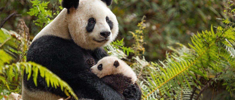Win a Digital Copy of Disney•Nature's 'BORN IN CHINA'