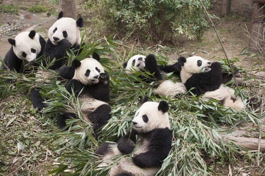 Movie Review: 'PANDAS' – Panda Watch!