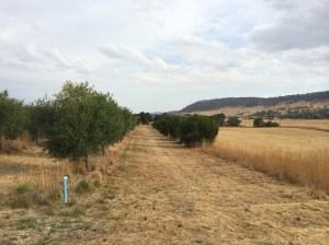 Dry olive grove