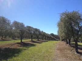 Neatly pruned rows of olive trees.