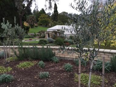 Baby olive tree