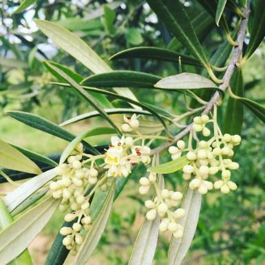2016-11-24-olive-flower