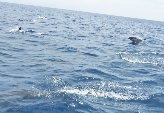 Dolphis swim  in the Pacific on the way to Catalina island from FreshFoodinaFlash.com
