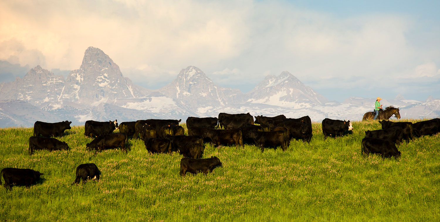 Teton Waters Ranch cattle grazing in ideal conditions... complete with mountain range and cowgirl!