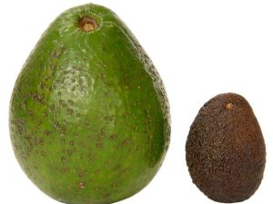 avocado CHIAPAS