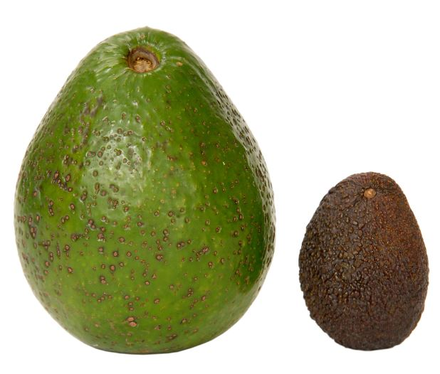 avocado - FITWEED RECAO FRESH (click image to view)