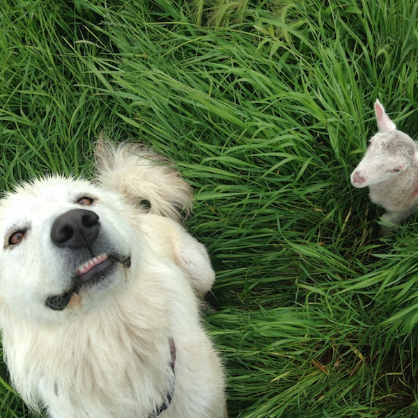 grassfed lamb livestock guard dog