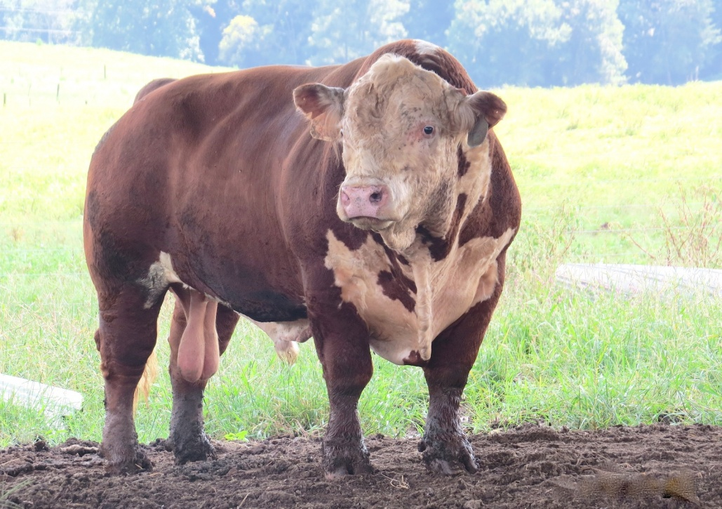 Battle Rupert T-352, a bull bred by Clemson Extension, fetched $25,000 from a Texas rancher this fall. Image Credit: Clemson University