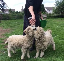 Grey Faced Dartmoor's