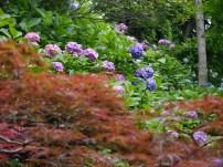 Ahorn und Hortensien im Garten des Hasedera