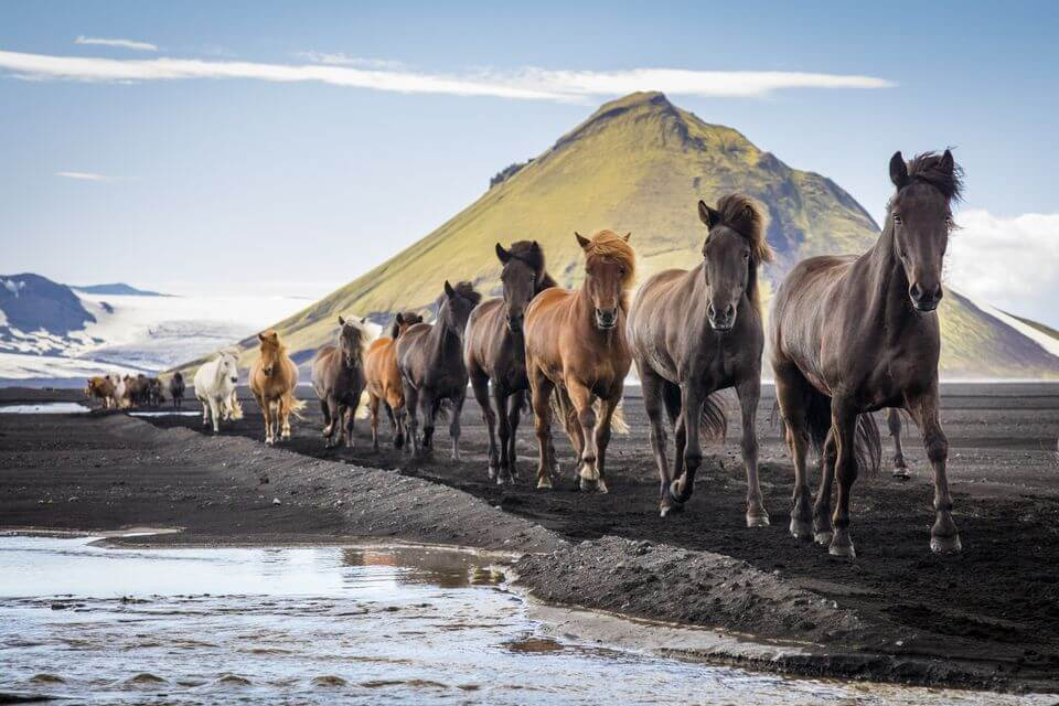 Icelandic horses - friend in iceland