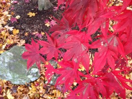 autumn, fall, tree, red maple leaves