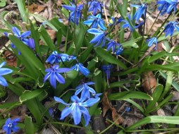 Blue scilla flowers