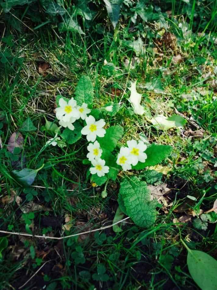Devon in spring: full of primroses