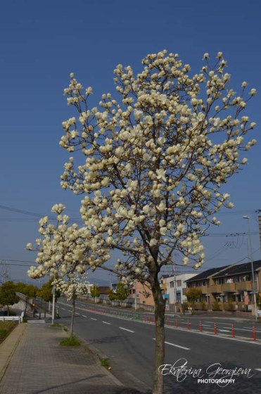 Магнолия/ Magnolia