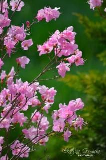 Първият рододендрон / The first rhododendron