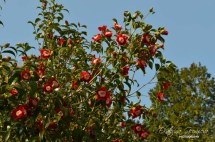 Камелия / Camellia