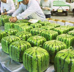 SQUARE WATERMELONS
