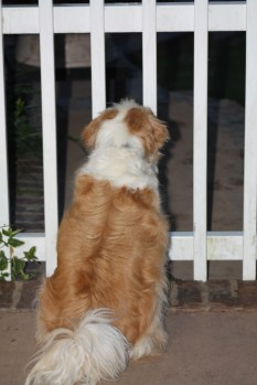 Daisy standing at the gate barking