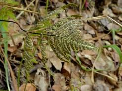 Gold back fern (Pentagramma triangularis) N side June 2015, photo by Margot Cunningham