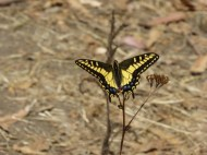 Anise swallowtail butterfly on yarrow. Top of Albany Hill July 2015, photo by Margot Cunningham