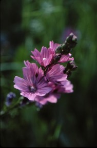 checker mallow (Sidalcea malviflora); photo by Barbara Ertter, 1996