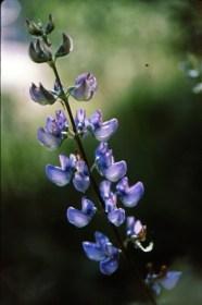 wood lupine (Lupinus latifolius); photo by Barbara Ertter, 1996