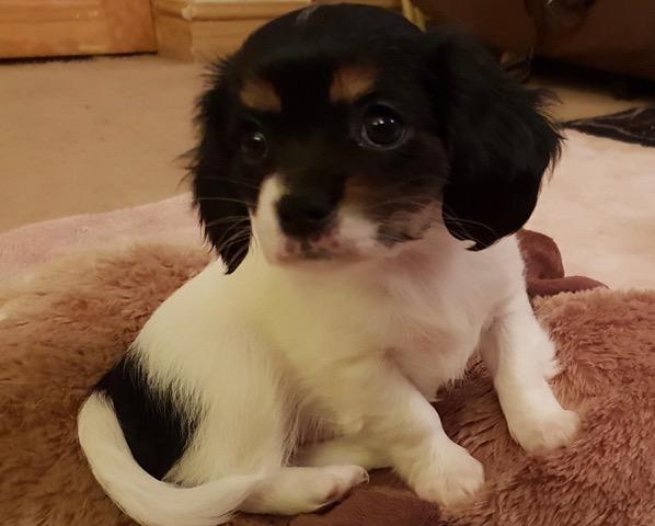 REHOMED Katy – 9 week old Cavalier puppy