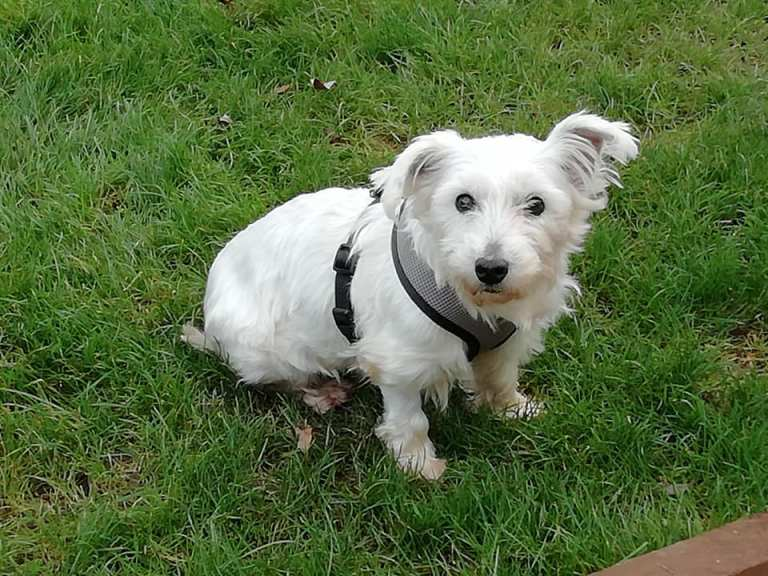 Rehomed Victoria – 5-year old West Highland Terrier
