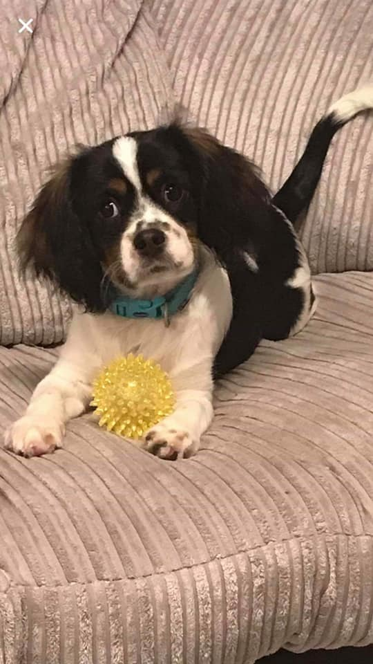 REHOMED Buddy – 7 month old Cavalier cross