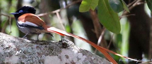 Paradise Flycatcher by P. Usher