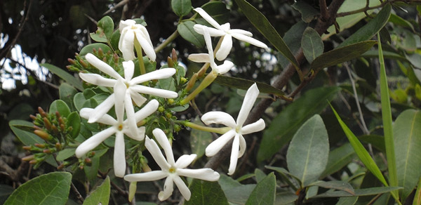 Cluster of Jasmine flowers at City Park @cngarachu