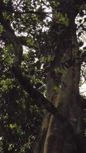 A fig growing in the forest.