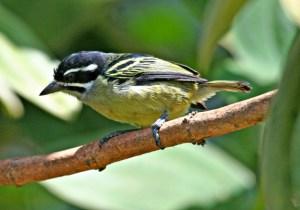 Yellow-rumped Tinkerbird by P. Usher
