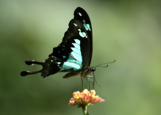 Green-banded Swallowtail by P. Usher