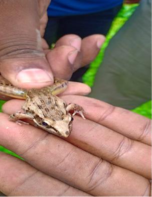 Handling an Anchieta's Ridged Frog (Ptychadena anchieta) [Photo|H.Nyambati]