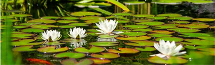 fish pond feature image