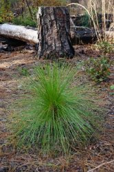 Site-10-Longleaf-pine-in-grass-stage